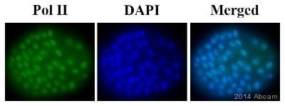 IHC-Wholemount-山羊抗鼠IgG H&L(Alexa Fluor®488)(ab150113)