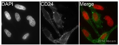Immunocytochemistry/ Immunofluorescence - Goat Anti-Mouse IgG H&L (Alexa Fluor® 488) preadsorbed (ab150117)