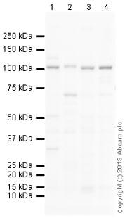 Western blot - Anti-NFAT1 antibody (ab150330)