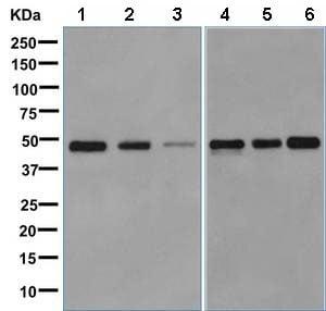 Western blot - Anti-RBMS1 antibody [EPR9825(B)] (ab150353)