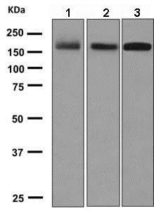 Western blot - Anti-PODXL antibody [EPR9518] (ab150358)