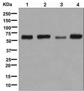 Western blot - Anti-E2F4 antibody [EPR8259] (ab150360)