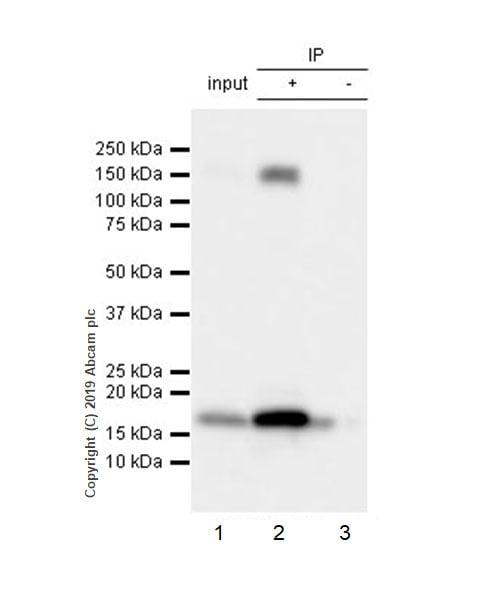 Immunoprecipitation - Anti-Integrin alpha 5 antibody [EPR7854] (ab150361)