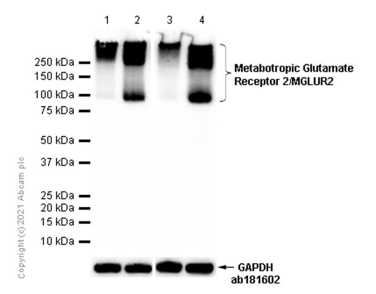 Western blot - Anti-Metabotropic Glutamate Receptor 2/MGLUR2 antibody [EPR8975] (ab150387)