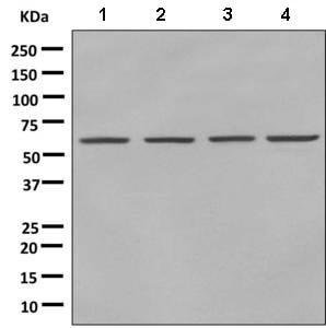 Western blot - Anti-NAB1 antibody [EPR8227(2)] (ab150389)