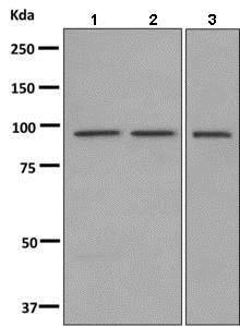 Western blot - Anti-HOOK1 antibody [EPR10103(B)] (ab150397)