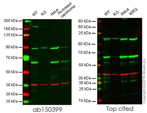 Western blot - Anti-HDAC1 antibody [EPR5517(2)] (ab150399)