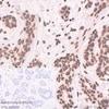 Immunohistochemistry (Formalin/PFA-fixed paraffin-embedded sections) - Anti-Histone H2A.Z antibody [EPR6171(2)(B)] - ChIP Grade (ab150402)