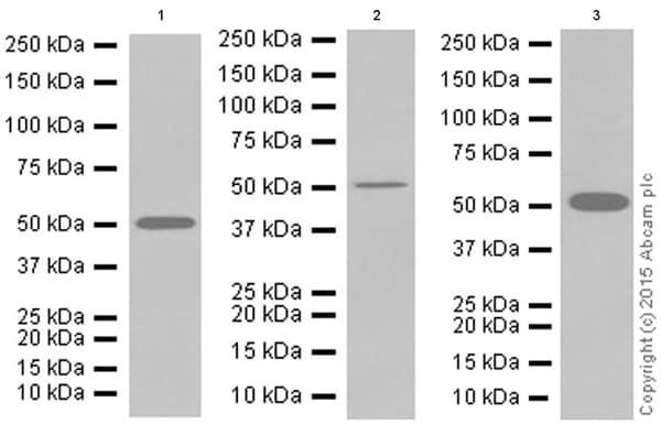 Western blot - Anti-Ephrin B2 antibody [EPR10072(B)] (ab150411)