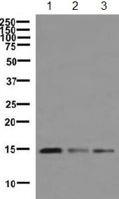 Western blot - Anti-Histone H3.3C antibody [EPR10085(B)] (ab150417)