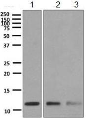 Western blot - Anti-Cytochrome C Oxidase subunit VIc/COX6C antibody [EPR9938] (ab150422)