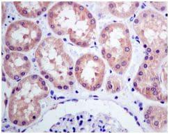 Immunohistochemistry (Formalin/PFA-fixed paraffin-embedded sections) - Anti-Tyrosyl tRNA synthetase/TyrRS antibody [EPR9926(B)] (ab150429)