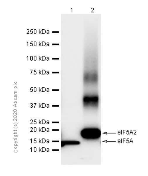 Western blot - Anti-eIF5A2 + eIF5A antibody [EPR7412-50] (ab150439)