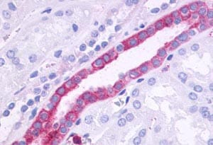 Immunohistochemistry (Formalin/PFA-fixed paraffin-embedded sections) - Anti-GPCR GPR110 antibody (ab150547)