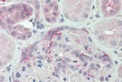 Immunohistochemistry (Formalin/PFA-fixed paraffin-embedded sections) - Anti-DUSP22 antibody (ab150565)