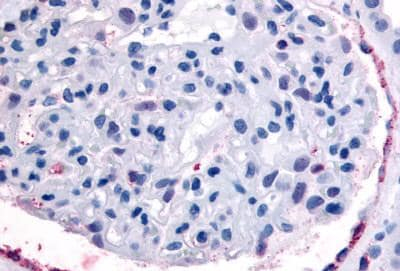Immunohistochemistry (Formalin/PFA-fixed paraffin-embedded sections) - Anti-Eph receptor A4/SEK antibody (ab150623)