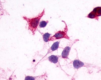 Immunocytochemistry - Anti-GPR182 antibody (ab150624)