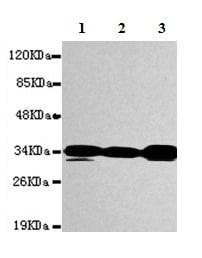 Western blot - Anti-PPP1A/PPP1CA antibody [1C11-C10-H5-E9] (ab150782)