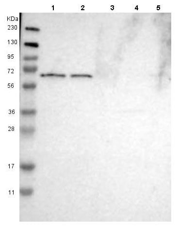 Western blot - Anti-PGT antibody (ab150788)