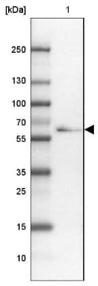 Western blot - Anti-TTLL11 antibody (ab150811)
