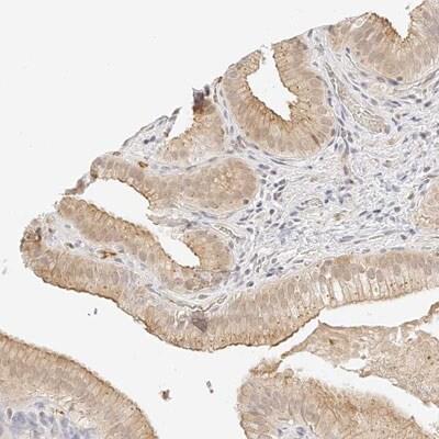 Immunohistochemistry (Formalin/PFA-fixed paraffin-embedded sections) - Anti-ZFP69 antibody (ab150824)
