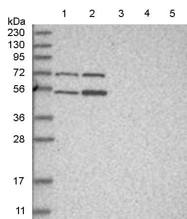 Western blot - Anti-ZFP69 antibody (ab150824)