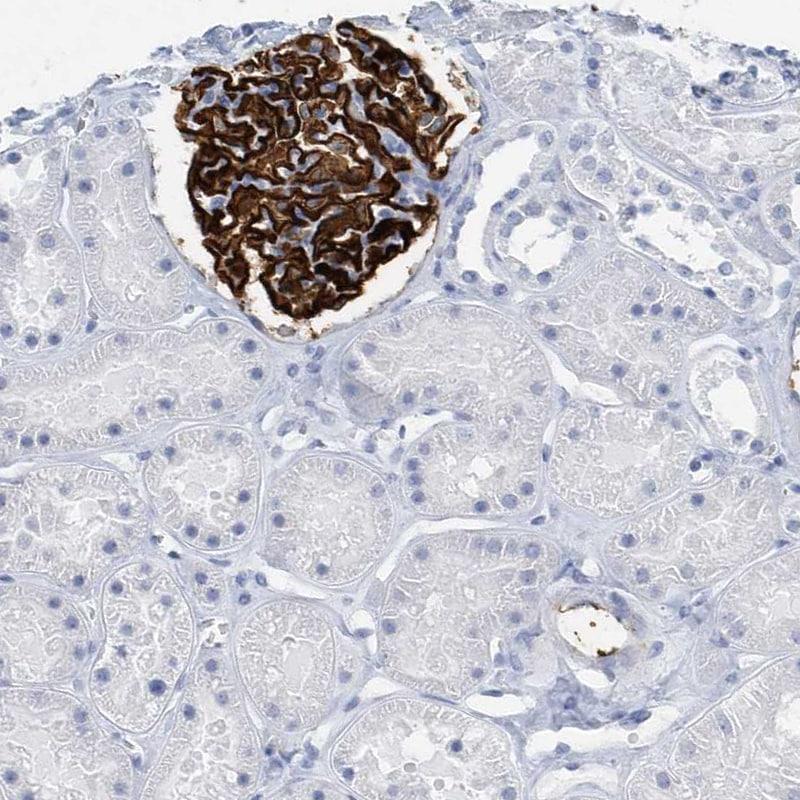 Immunohistochemistry (Formalin/PFA-fixed paraffin-embedded sections) - Anti-GLEPP1/PTPRO antibody (ab150834)