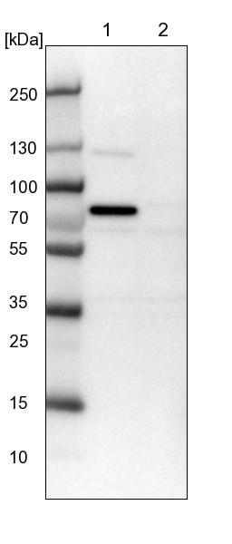 Western blot - Anti-CWF19L1 antibody (ab150842)