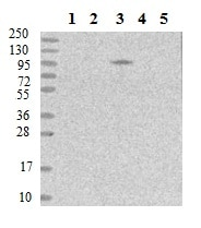 Western blot - Anti-MOCOS/MCS antibody (ab150852)