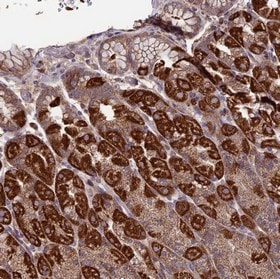 Immunohistochemistry (Formalin/PFA-fixed paraffin-embedded sections) - Anti-SLC15A5 antibody (ab150877)