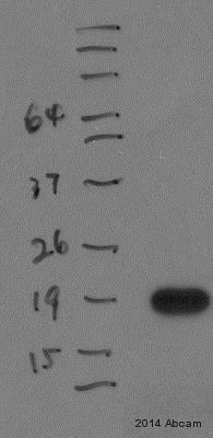 Western blot - Anti-C20orf27 antibody (ab150991)