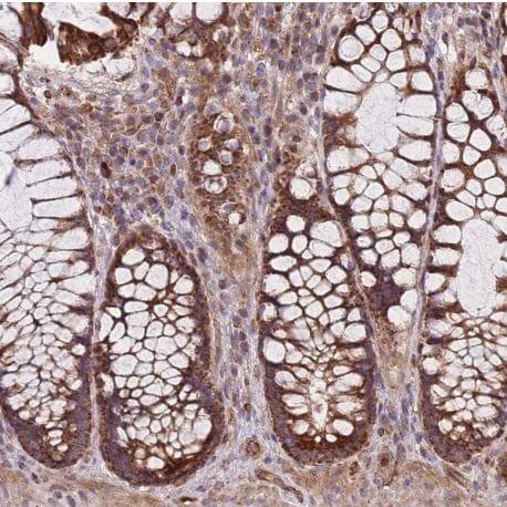 Immunohistochemistry (Formalin/PFA-fixed paraffin-embedded sections) - Anti-C6orf203 antibody (ab151066)