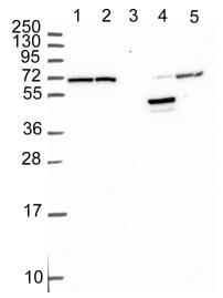Western blot - Anti-PRODH2 antibody (ab151130)