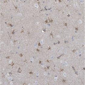 Immunohistochemistry (Formalin/PFA-fixed paraffin-embedded sections) - Anti-FAM210A antibody (ab151142)