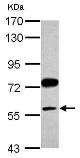 Western blot - Anti-Visfatin antibody (ab151235)