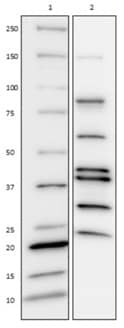Western Blot for AKT/MAPK Signaling Pathway Cocktail – Cross Reactivity