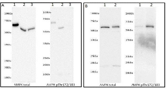Specificity of signal by Western Blot