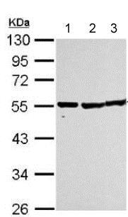 Western blot - Anti-TUBA1B antibody (ab151424)