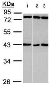 Western blot - Anti-ASB5 antibody (ab151452)