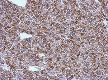 Immunohistochemistry (Formalin/PFA-fixed paraffin-embedded sections) - Anti-LAE antibody (ab151456)