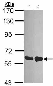 Western blot - Anti-DDX19B antibody (ab151478)