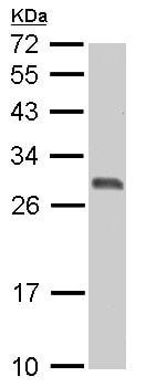 Western blot - Anti-14-3-3 sigma/SFN antibody (ab151504)