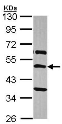 Western blot - Anti-TRH-R antibody (ab151510)