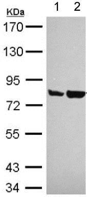 Western blot - Anti-Artemis antibody (ab151512)