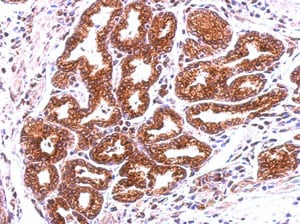 Immunohistochemistry (Formalin/PFA-fixed paraffin-embedded sections) - Anti-Annexin-13/ANXA13 antibody (ab151517)