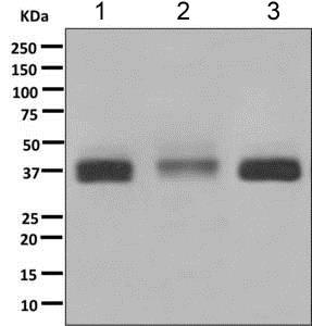 Western blot - Anti-MPZL antibody [EPR9229] (ab151541)