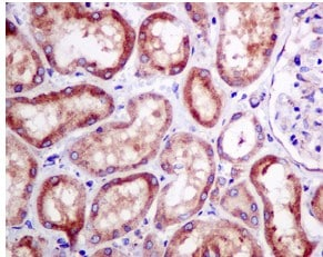 Immunohistochemistry (Formalin/PFA-fixed paraffin-embedded sections) - Anti-RPS10 antibody [EPR8545] (ab151550)