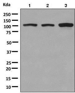 Western blot - Anti-KIF5B antibody [EPR10277(B)] (ab151558)