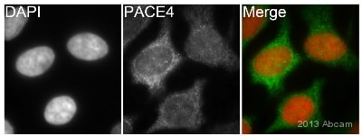 Immunocytochemistry/ Immunofluorescence - Anti-PACE4 antibody [EPR8320] (ab151562)