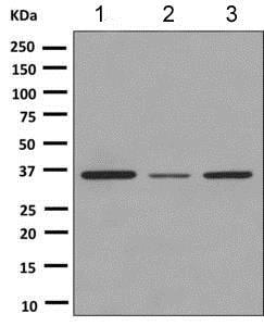 Western blot - Anti-PAX9 antibody [EPR8548] (ab151570)